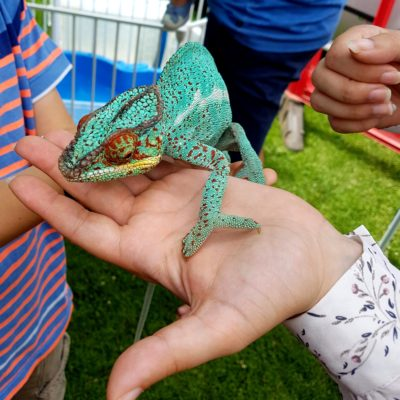 Chameleon on a person's hand - Click to open full size image