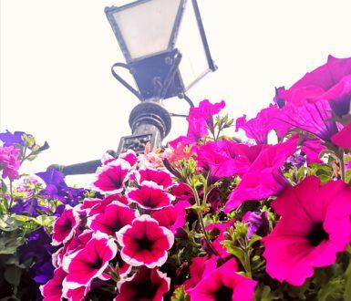 Petunias and lantern